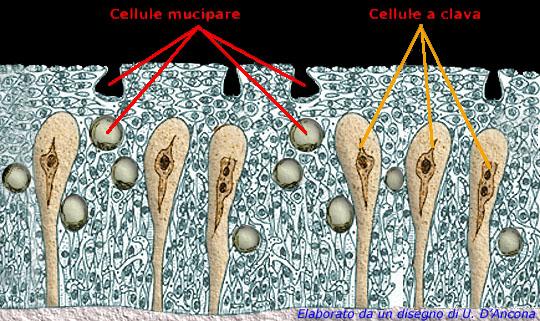MUCB5: illustrazione delle cellule mucipare e delle cellule a clava